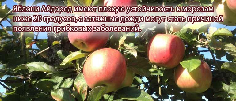Яблоня айдаред