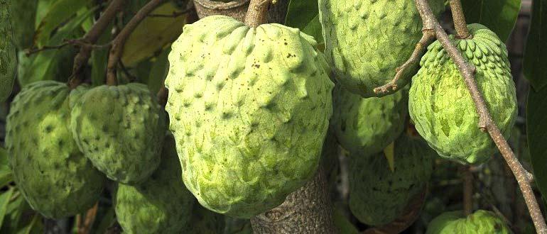 Черимойя - как едят фрукт, чем он полезен, как вырастить дома