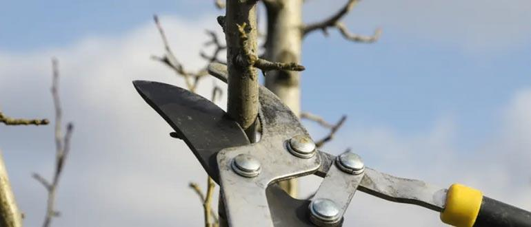 обрезка дерева груша