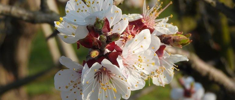 цветение триумф