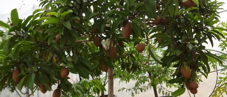 выращивание чику