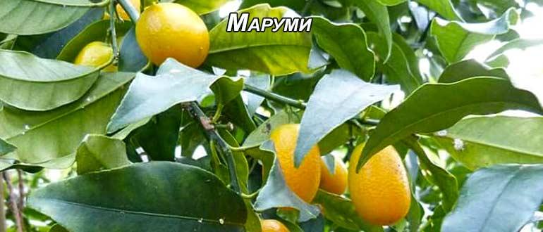 маруми