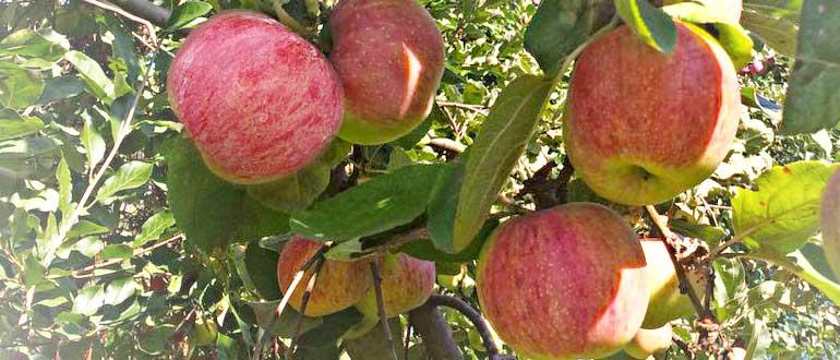 яблоня сорт штрифель