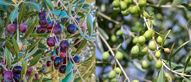 оливки на ветке