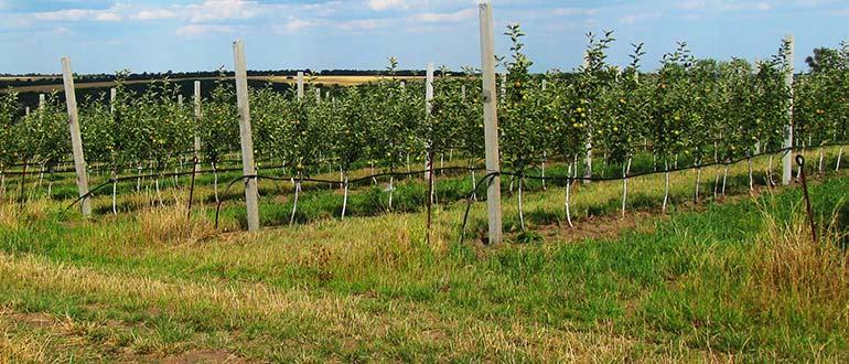 Сорт яблони Белый налив - выращивание, правила ухода, опылители