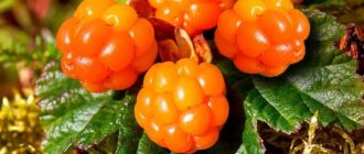 Морошка ягода