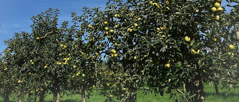 яблони опылители