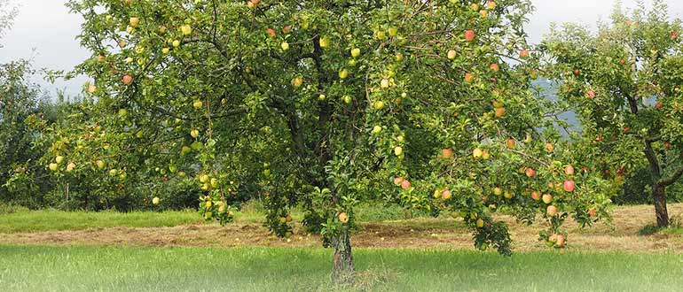 яблоня высокорослая