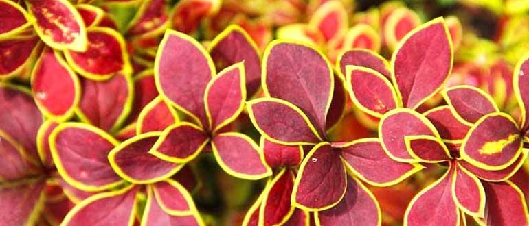 Барбарис Тунберга - описание популярных сортов растения, польза и применение