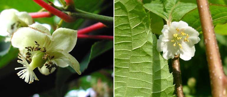 мужские женские цветки коломикты