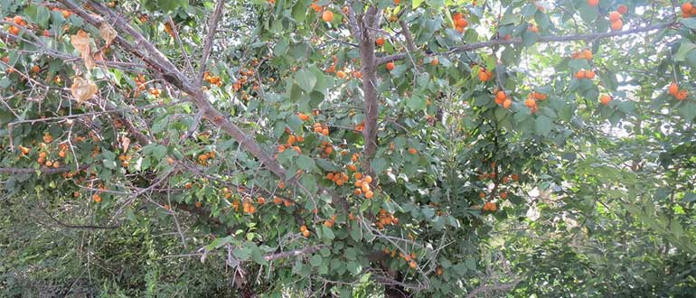 дикий абрикос