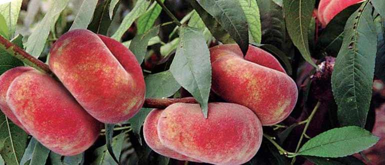 сорта персика инжирного