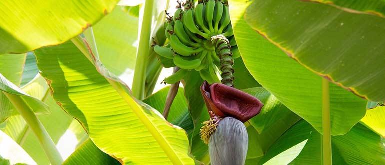 плодоношение банана