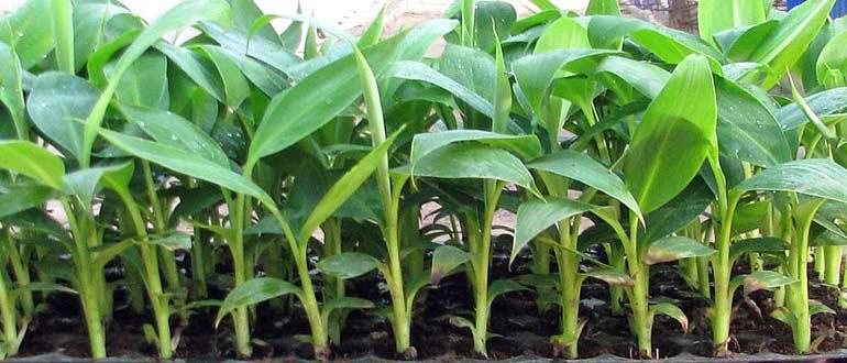 покупка растения банана в магазине