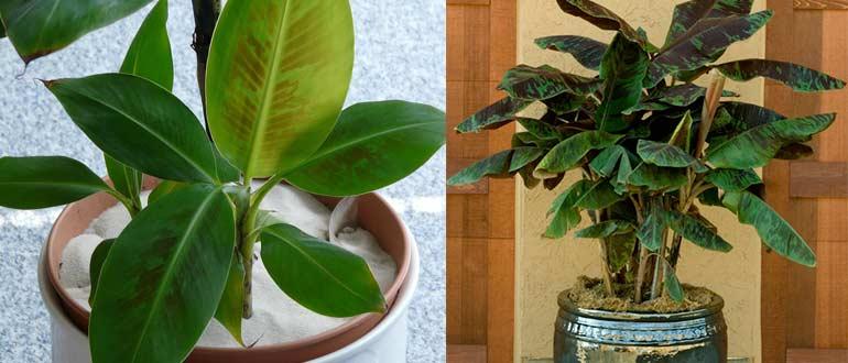 уход за банановым деревом