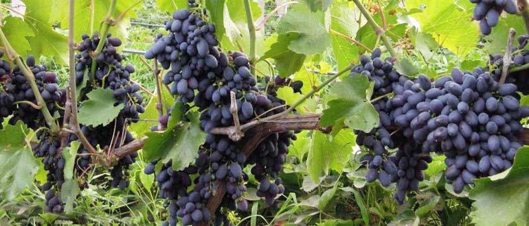урожайность кодрянки