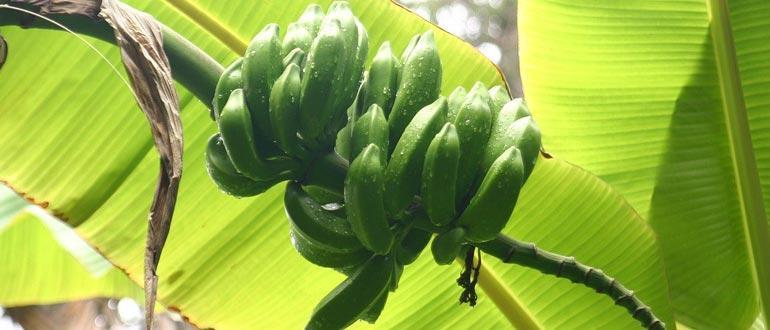 Выращивание банана дома