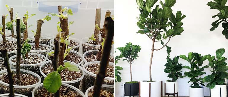 Выращивание фиговых деревьев дома