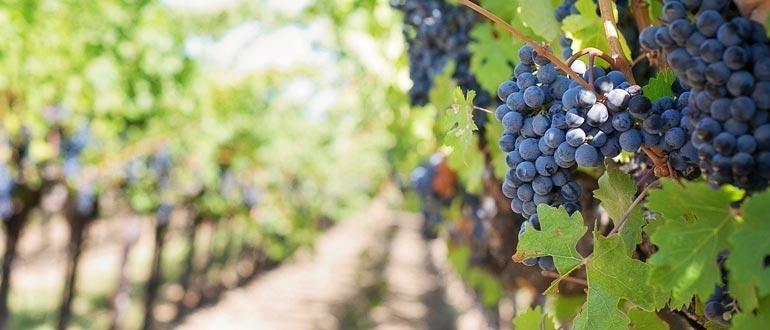 выращивание винограда изабелла