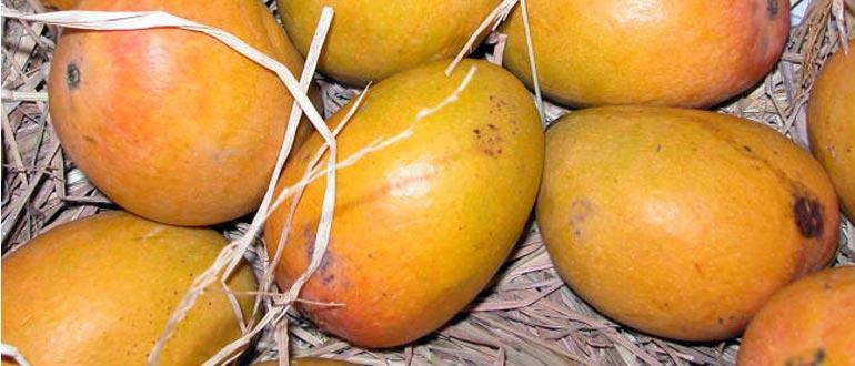 Alfonso mango variety