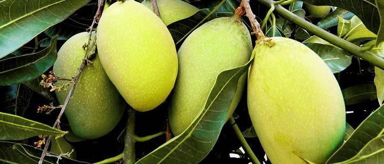 Тайское манго