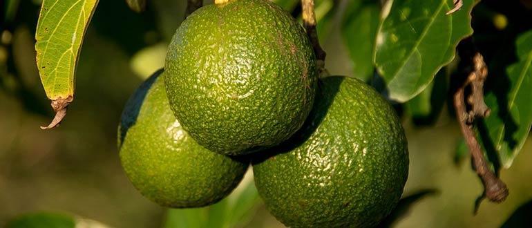 Авокадо Рид