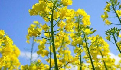 крестоцветные капуста цветет