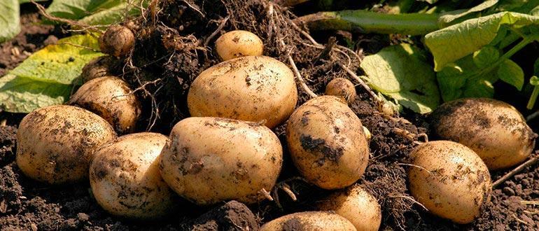 Урожай картофеля гала