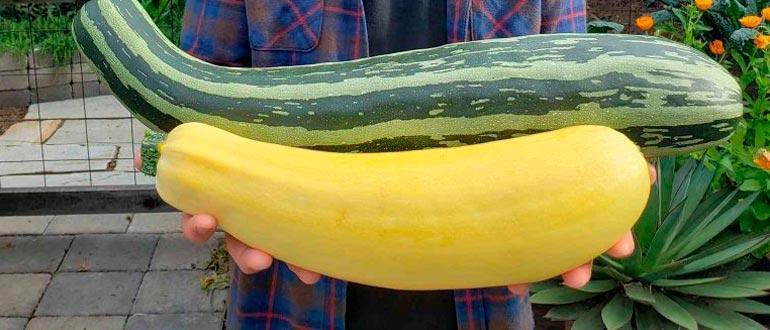 большой овощ цукини