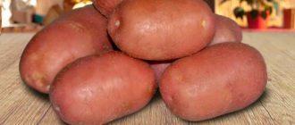 Картофель ред скарлет фото