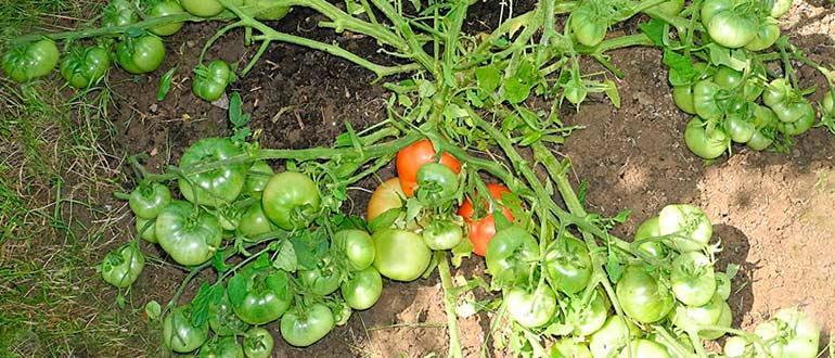 монгол-томат