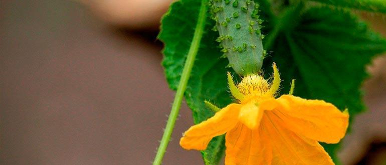 Овощ цветок