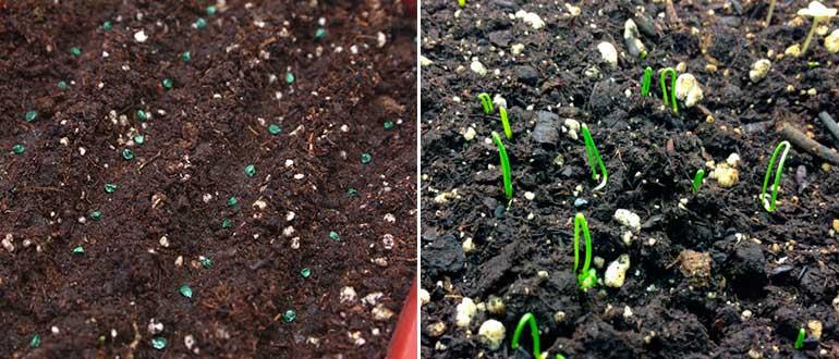 Семена и рассада лука