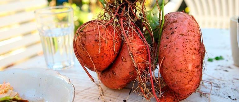 Свежий сладкий картофель