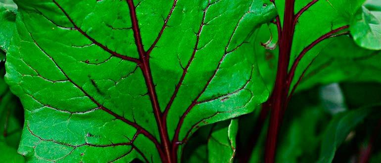 Свекольные листья