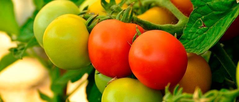 томаты пасленовые
