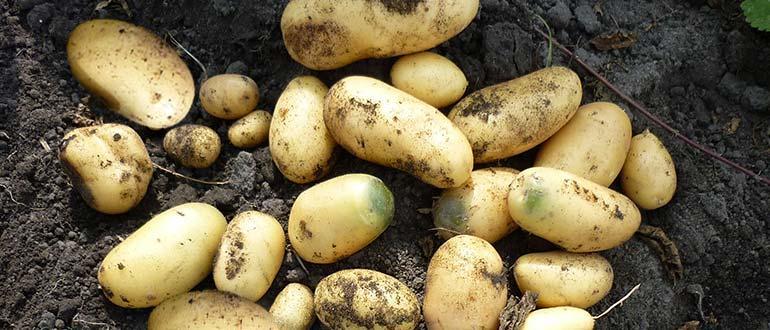 урожай картошки Анна